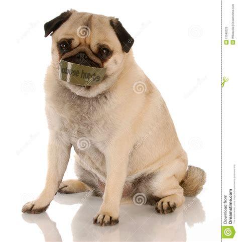 pug abuse animal abuse stock photos image 11040223