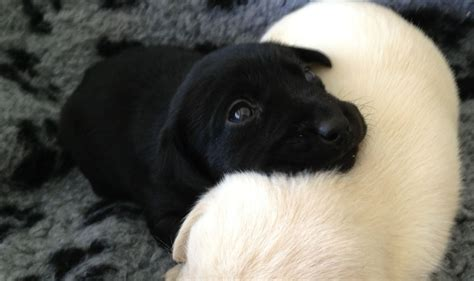 black labs puppies black lab puppies quotes quotesgram