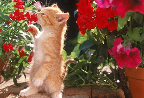 Flowers Poisonous Cats - kitten care pictures from adoptions to kitty proofing