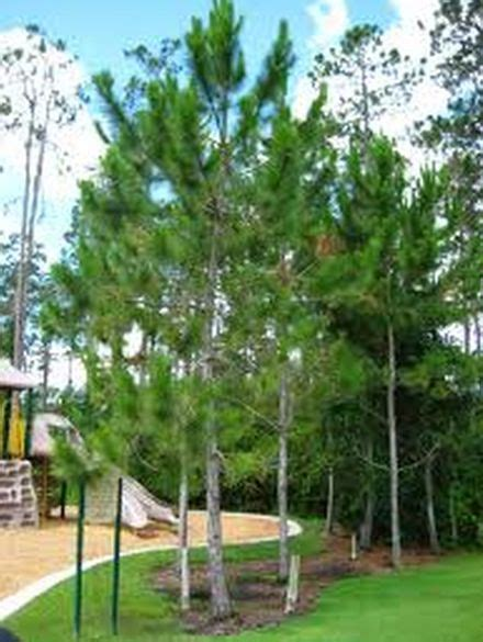 loblolly pine tree cluster common tree choices trees pine and pine tree