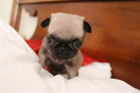 tea cup pug grown teacup poodles breeds picture