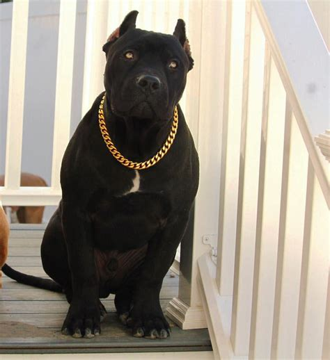 cuban link collar gold cuban link stainless steel luxury choke chain collar swole dogs