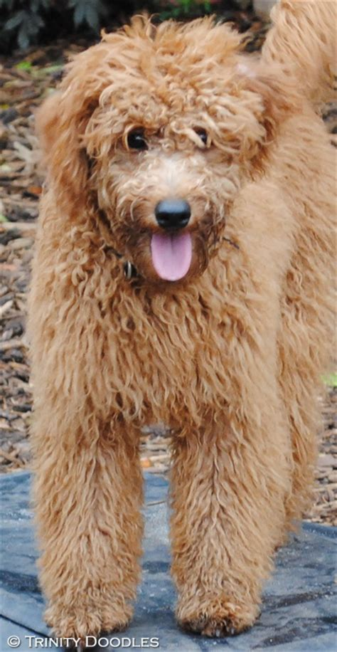 mini labradoodles ohio 17 best images about mini goldendoodles on