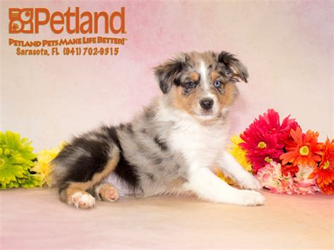 puppies for sale sarasota australian shepherd puppies for sale say hello to your new workout partner petland