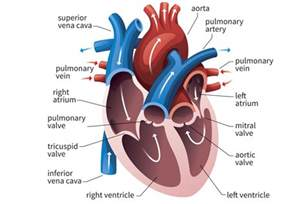 cross section of heart the function of the heart ventricles