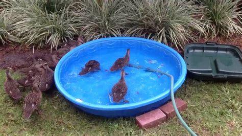 Baby Mallard ducks eating feeder fish from baby pool