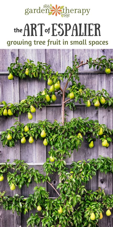 Kitchen Designs For Small Spaces by The Art Of Espalier Growing Fruit Trees In Small Spaces