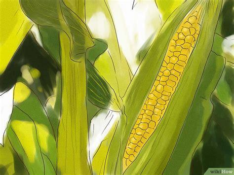 el corn clsicos de 3 formas de cultivar ma 237 z desde la semilla wikihow