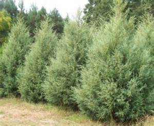 Fast growing privacy screen trees