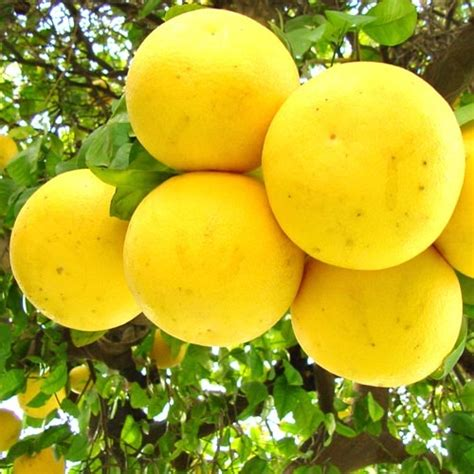 What Fruit Trees Grow In Texas - grapefruit trees for sale