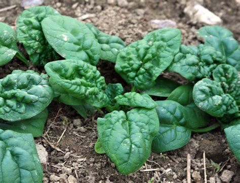 winter bloomsdale spinach bulk size   southern