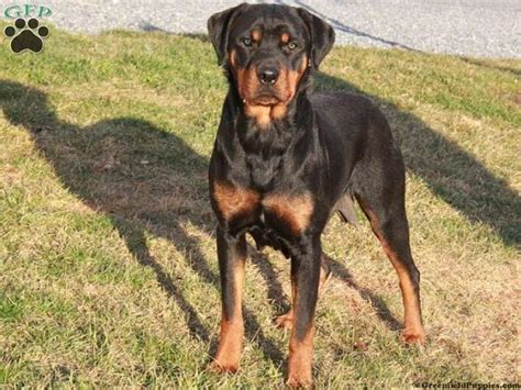 rottweiler and great dane mix rottweiler great dane mix puppies for sale zoe fans baby animals