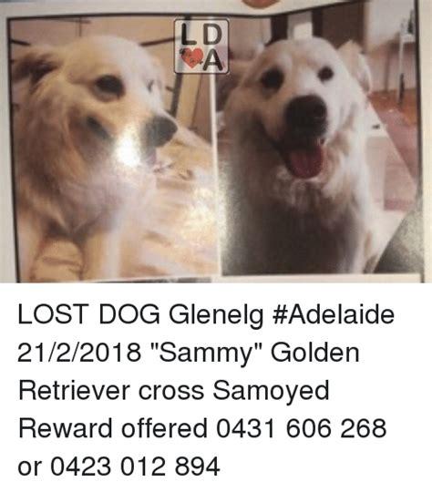samoyed cross golden retriever lost glenelg adelaide 2122018 sammy golden retriever cross samoyed reward offered