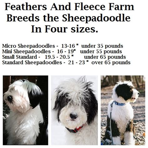 mini sheepadoodle puppies feathers and fleece sheepadoodle puppies