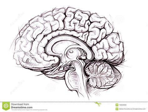 imagenes libres cerebro estudio skethy del l 225 piz del cerebro humano im 225 genes de