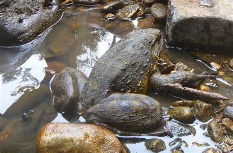 setidaknya inilah perbedaan katak  kodok oleh petrus