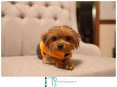 yorkies in costumes yorkies in costumes on yorkie costumes and terrier