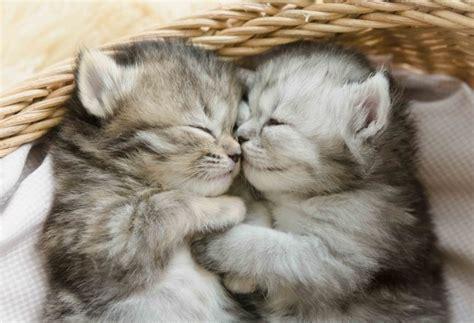 wallpaper cute kittens sleeping cats wallpapermaiden
