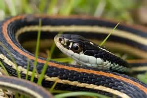Garden Snake Missouri Field Herp Forum View Topic Garter Snake