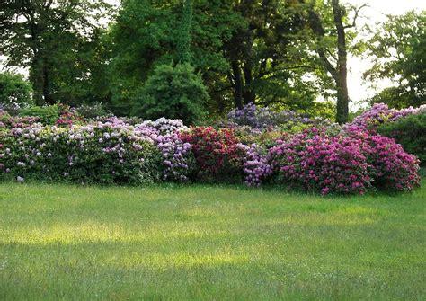 rhododendron hecke rhododendron park wachwitz 34 rhododendron hecken als