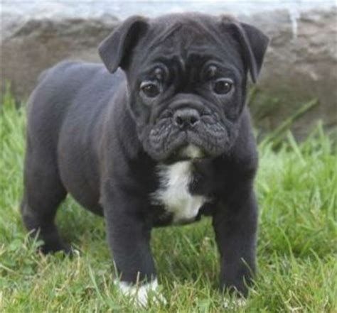 pug bull mix bulldogs pug and bulldogs on