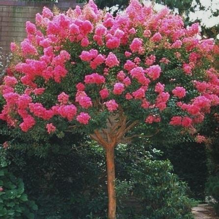 Decorative Home Accessories by Lagerstroemia Indica Bergerac Crepe Myrtle Leafland