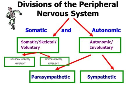 section 35 3 divisions of the nervous system the somatic and autonomic motor divisions of pns pictures