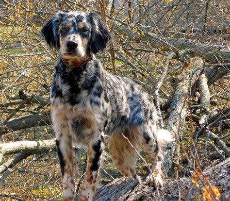 Llewellin Setter Dog Breeders | 1000 ideas about english setters on pinterest english