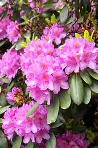 rhododendron rhododendron species mygarden org