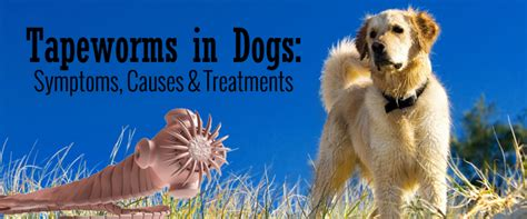 tapeworm symptoms in dogs tapeworm in dogs symptoms causes treatments entirelypets