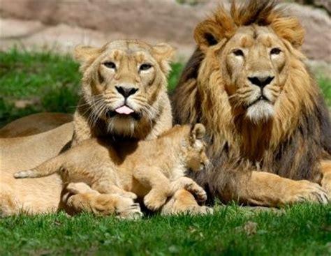 imagenes de leones macho y hembra imagenes de leones