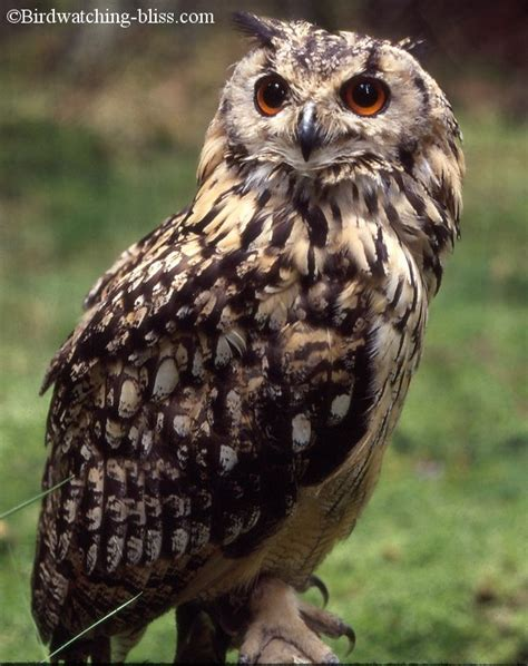 Barn Owl Hoot Owl Pictures Screech Long Earred Eagle Owl And More