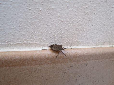 come eliminare le cimici in casa cimici marroni in casa come allontanare le mosche da casa
