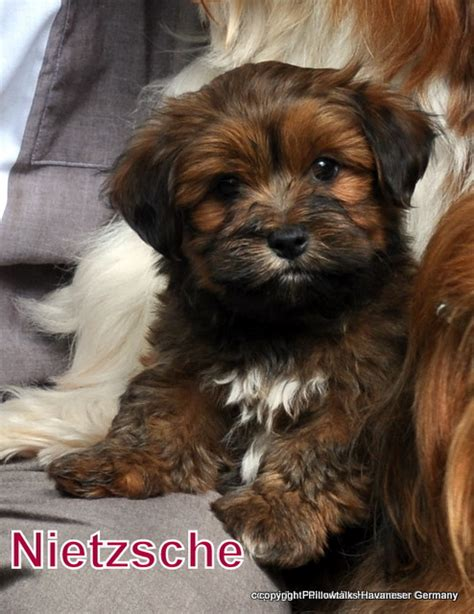 havanese colors brown havanese puppies www imgkid the image kid has it