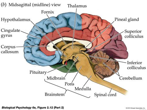 brain cross section diagram labeled brain diagram the human brain labeled human