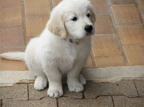 golden retriever tasmania regalo golden retriever cachorro golden perros venta mascotas