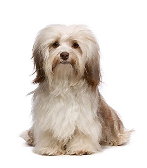 havanese lifespan havanese breed information and pictures