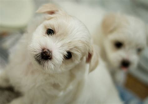 references photos thomas kennel maltese poodles maltese puppies dogtime