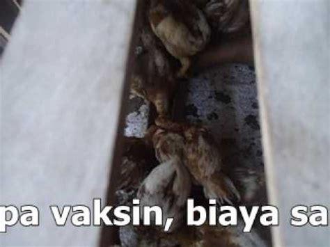 Bibit Ayam Petelur Per Ekor ayam pullet petelur murah 20 ribu per ekor umur 20 minggu