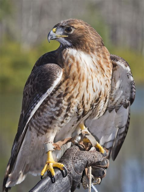 audubon teaches nature birds of prey master of the