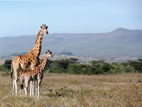imagenes con jirafas fotos gratis paisaje naturaleza desierto pradera