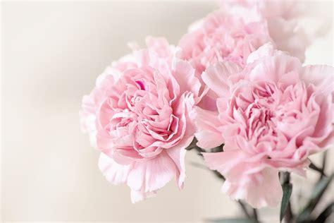 Rosa Blumen kostenloses foto blumen nelken rosa rosa nelken
