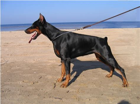 doberman puppies doberman images doberman hd wallpaper and background photos 2573379