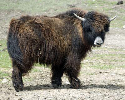 google images yak image gallery tibetan yak