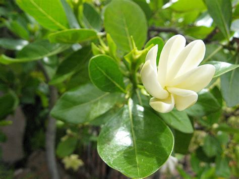 Gardenia Bush Care Gardenia Plant Care Of Images