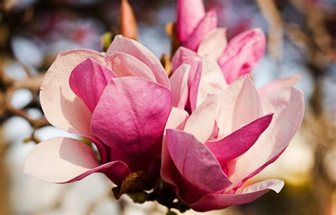 magnolia wallpapers images  pictures backgrounds