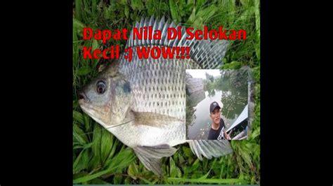 Ikan Nila Kecil mancing di selokan kecil dapat ikan nila 1 kg