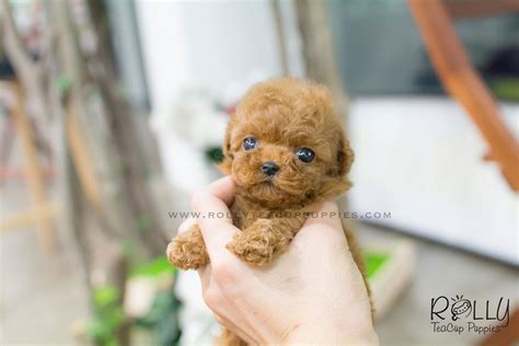 rolly teacup puppies for sale poodle rolly teacup puppies