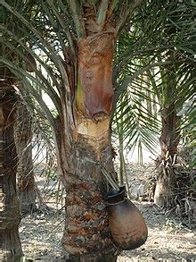 canoes meaning in bengali date palm wikipedia