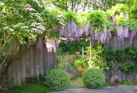 getting wisteria to bloomm promoting wisteria bloom part 1 swansons nursery seattle s favorite garden store since 1924
